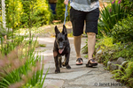Vito, a four month old German Shepherd puppy going for a walk with his owner, pulling on his leash enthusiastically