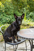 Vito, a four month old German Shepherd puppy enjoying sitting in a patio chair in his yard