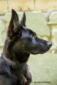 Close-up portrait of Vito, a four month old German Shepherd puppy