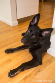 Vito, a four month old German Shepherd puppy reclining on the hardwood floor in his home i