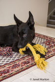 Vito, a four month old German Shepherd puppy chewing on and playing with his rope toy while reclining on a Persian rug