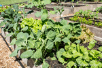 Spring vegetable garden with lettuce, mustard greens as well as over-wintered cabbage and dino kale