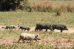 Family of wild pigs that are a cross between domesticated pigs and Collared Peccarys in the Pantanal area of Brazil.  In Brazil, feral pigs first invaded Pantanal ecosystems. They are locally known as