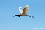 Jabiru stork flying