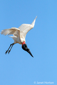 Jabiru stork flying in Pantanal area of Brazil.