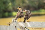 Southern Crested Caracara couple who just finished mating, perched on a wooden fence