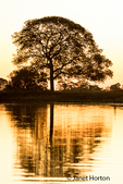 Tree silhouette in early evening with reflection in the river