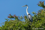 Cocoi Heron perched in a tree