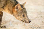 Crab-eating Fox at sunrise.  The crab-eating fox searches for crabs on muddy floodplains during the wet season, giving this animal its common name. It is an opportunist and an omnivore, preferring insects or meat from rodents and birds when available.