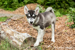 Dashiell, a three month old Alaskan Malamute puppy