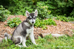 """Dashiell, a three month old Alaskan Malamute puppy learning the """"sit"""" command, sitting in the park"""