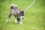 Dashiell, a three month old Alaskan Malamute puppy going for a walk in the park