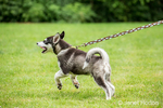 Dashiell, a three month old Alaskan Malamute puppy enthusiastically pulling on his leash
