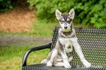 Dashiell, a three month old Alaskan Malamute puppy sitting on a park bench