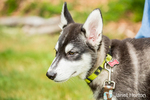 Dashiell, a three month old Alaskan Malamute puppy portrait