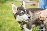 Dashiell, a three month old Alaskan Malamute puppy portrait