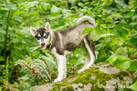 Dashiell, a three month old Alaskan Malamute puppy standing on a rock in the park