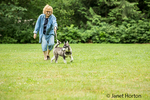 Dashiell, a three month old Alaskan Malamute puppy tugging on his leash during a walk in a local park