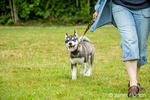Dashiell, a three month old Alaskan Malamute puppy walking with his owner in a park
