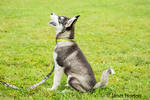 """Dashiell, a three month old Alaskan Malamute puppy learning """"sit"""" and """"stay"""" commands at the park"""