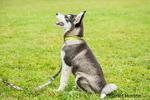 Dashiell, a three month old Alaskan Malamute puppy learning