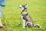"Dashiell, a three month old Alaskan Malamute puppy learning ""sit"" and ""stay"" commands at the park"