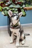 Dashiell, a three month old Alaskan Malamute puppy portrait in a sun room
