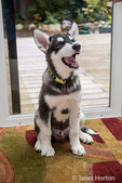 Dashiell, a three month old Alaskan Malamute puppy portrait in a sun room