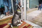 """Dashiell, a three month old Alaskan Malamute puppy practicing a """"stay"""" command beside a sliding glass door, as another person tries to entice him to come outside"""