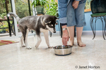 Dashiell, a three month old Alaskan Malamute puppy about to get a drink from his bowl