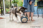 Dashiell, a three month old Alaskan Malamute puppy putting his foot in his water bowl and spilling the water