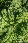 Vates Blue Curled Kale growing
