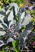 Mammoth Red Rock cabbage.  It is an heirloom variety.