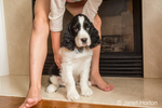 Seven year old girl encouraging her two month old Springer Spaniel puppy, Tre, to sit in front of a gas fireplace