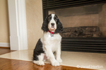 Two month old Springer Spaniel puppy, Tre, sitting in front of a gas fireplace