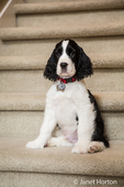 Two month old Springer Spaniel puppy, Tre, sitting on carpeted stairs