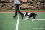 Two month old Springer Spaniel puppy, Tre, biting the pants let of his owner as he chases her in fun across the outdoor rubber flooring for a tennis court