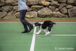 Two month old Springer Spaniel puppy, Tre, biting the pants let of his owner as he chases her in fun across the rubber flooring for a tennis court