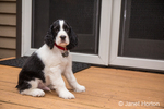 Two month old Springer Spaniel puppy, Tre, sitting outside his house on the porch