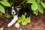 Two month old Springer Spaniel puppy, Tre, resting under a shrub