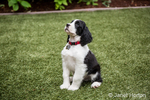 Two month old Springer Spaniel puppy, Tre, sitting in hs yard on artificial turf