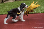 Two month old Springer Spaniel puppy, Tre, struggling to carry a large Big Leaf Maple leaf
