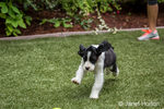 Two month old Springer Spaniel puppy, Tre, running and frolicking on the artificial turf in his yard