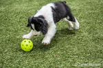 Two month old Springer Spaniel puppy, Tre, about to pounce on a plastic ball thrown for him