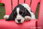 Two month old Springer Spaniel puppy, Tre, resting in a plastic lawn chair after a frisky play session