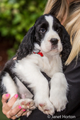 Woman holding her two month old Springer Spaniel puppy, Tre