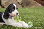 Two month old Springer Spaniel puppy, Tre, being naughty and eating a hydrangea flower