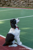 Two month old Springer Spaniel puppy, Tre, obediently sitting on the plastic tiled sports court in his yard