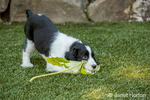 Two month old Springer Spaniel puppy, Tre, romping with a Big Leaf Maple leaf on the artificial turf in his yard