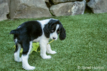 Two month old Springer Spaniel puppy, Tre, looking guilty as he carries around a Big Leaf Maple leaf on the artificial turf in his yard